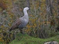 Chloephaga picta picta; Upland goose; Magellangås