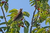 Turdus philómelus; Song thrush; Taltrast