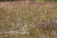 Anthus campestris; Tawny pipit; Fältpiplärka