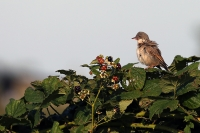 Sylvia communis; Common whitethroat; Törnsångare