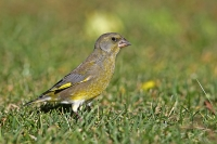 Carduelis chloris; European greenfinch; Grönfink