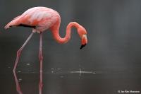 Phoenicopterus ruber; Caribbean flamingo; Karibisk flamingo