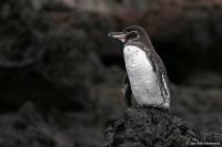 Spheniscus mendiculus; Galapagos penguin; Galapagospingvin
