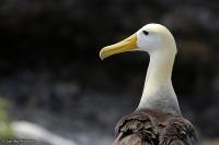 Phoebastria [Diomedea] irrorata; Waved albatross; Galapagosalbatross