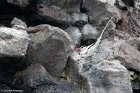 Phaethon aethereus mesonauta; Red-billed tropicbird; Rödnäbbad tropikfågel