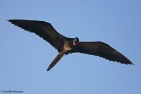 Fregata magnificens; Magnificent frigatebird; Praktfregattfågel