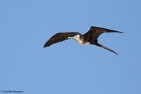Fregata minor ridgwayi; Great frigatebird; Större fregattfågel