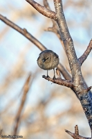 Certhidea fusca; Grey warbler-finch; Grå drillfink