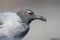 Larus fuliginosus; Lava gull; Lavatrut
