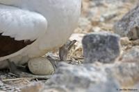 Sula granti; Nazca booby; Nazcasula