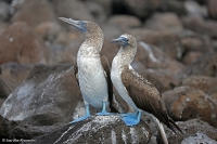 Sula nebouxii excisa; Blue-footed booby; Blåfotad sula