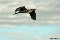 Ardea herodias; Great blue heron; Amerikansk gråhäger