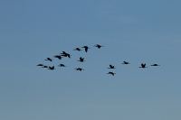 Phimosus infuscatus; Bare-faced ibis; Rödmaskad ibis