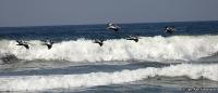 Pelecanus thagus; Peruvian pelican; Perupelikan