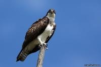 Pandion haliaetus carolinensis; [American] Osprey; Fiskgjuse