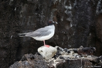 Creagrus furcatus; Swallow-tailed gull; Svalstjärtad mås