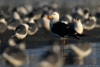 Larus belcheri; Belcher's gull; Perutrut