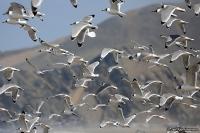 Leucophaeus [Larus] pipixcan; Franklin's gull; Präriemås