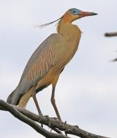Syrigma sibilatrix; Whistling heron; Visselhäger