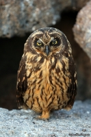Asio flammeus galapagoensis; Short-eared owl; Galapagosjorduggla