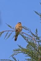 Falco sparverius; American kestrel; Sparvfalk