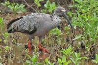 Theristicus caerulescens; Plumbeous ibis; Grå ibis