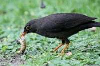 Turdus fuscater quindio; Great thrush; Stortrast
