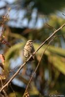 Mimus longicaudatus; Long-tailed mockingbird; Långstjärtad härmtrast