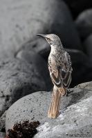 Nesomimus macdonaldi; Hood mockingbird; Españolahärmtrast