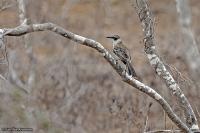Nesomimus parvulus; Galapagos mockingbird; Galápagoshärmtrast
