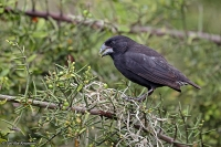 Geospiza fortis; Medium ground-finch; Mellandarwinfink