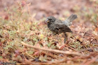 Geospiza fuliginosa; Small ground-finch; Mindre darwinfink