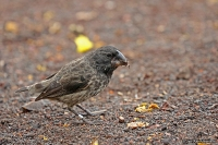 Geospiza magnirostris; Large ground-finch; Större darwinfink