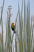 Chrysomus icterocephalus; Yellow-hooded blackbird; Gulhuvad trupial