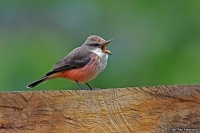 Pyrocephalus rubinus cocachacrae; Vermilion flycatcher; Rubintyrann