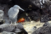 Butorides sundevalli; Galapagos [Lava] heron; Galápagoshäger