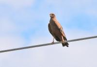 Buteogallus meridionalis; Savanna hawk; Savannvråk