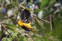Ploceus subaureus; African golden weaver; Guldvävare