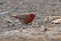 Lagonosticta senegala; Red-billed firefinch; Rödnäbbad amarant