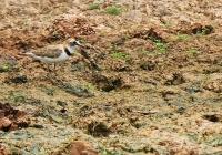 Charadrius collaris; Collared Plover; Svartkronad strandpipare