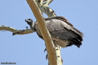 Gyps africanus; White-backed vulture; Vitryggig gam