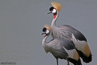 Balearica regulorum; Gray-crowned crane; Grå krontrana