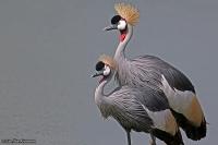 Balearica regulorum; Gray-crowned crane; Grå krontrana