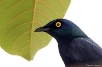 Lamprotornis corruscus; Black-bellied glossy-starling; Svartbukig glansstare