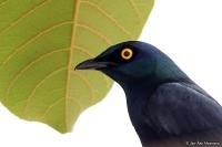 Lamprotornis corruscus; Black-bellied glossy-starling; Svartbukig glansstare