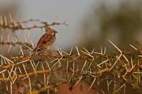 Passer rufocinctus; Kenya rufous sparrow; Kenyasparv