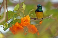 Hedydipna collaris; Collared sunbird; Halsbandssolfågel