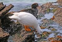 Chloephaga hybrida malvinarum; Greater kelp goose; Kelpgås
