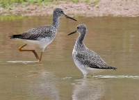 Tringa melanoleuca; Greater yellowlegs; Större gulbena