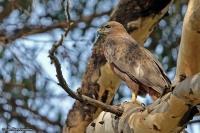 Buteo [buteo] vulpinus; [Western] Steppe buzzard; Stäppvråk [Ormvråk]